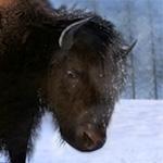 Американский бизон в игре theHunter